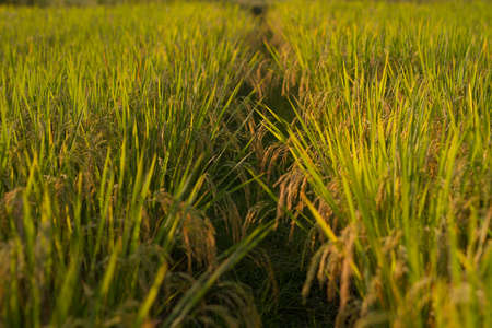 Ear of rice in paddy fields