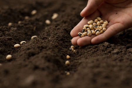 Hand of expert farmer sowing seeds of vegetables on healthy soil at organic farm.