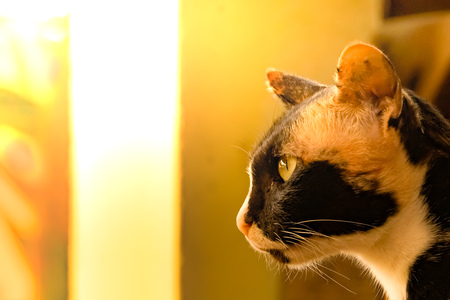 close up multicolors mature  valiant cat concentrate looking something forward in soft warm light backgruond with copy space for text Banco de Imagens