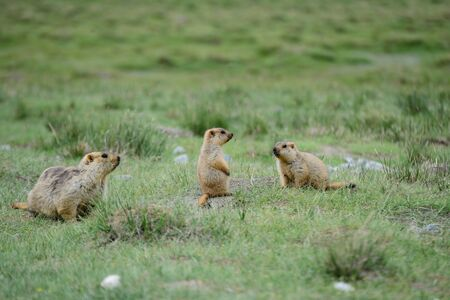 Group of Marmot in grassland.