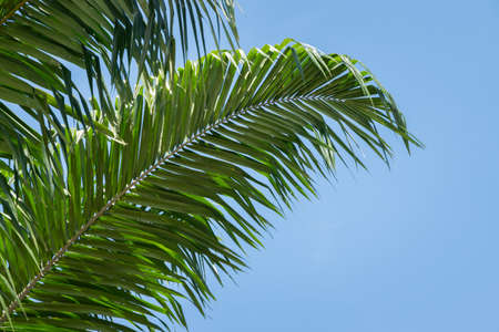 Low angle view of tropical oil palm leaves on blue sky background. Beautiful natural background for summertime. Stock fotó