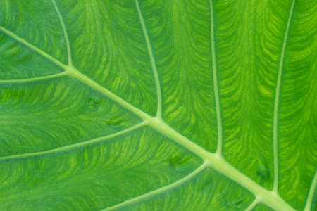 Close up elephant ear plant or Colocasia esculenta leaf. Texture details of tropical green foliage in rainforest garden. Abstract beautiful natural background. 写真素材