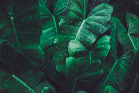 Close up wet arrowhead plant or syngonium podophyllum leaves in rainforest garden. Texture details of tropical green foliage with water drop. Macro abstract beautiful dark tone natural background. Standard-Bild