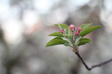 apple blossoms on a branch