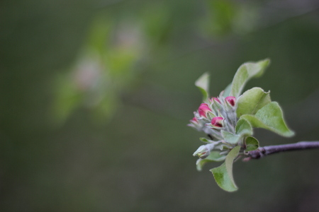 flower buds of apple Stock Photo