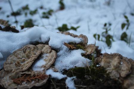 mushrooms on a stump and snow