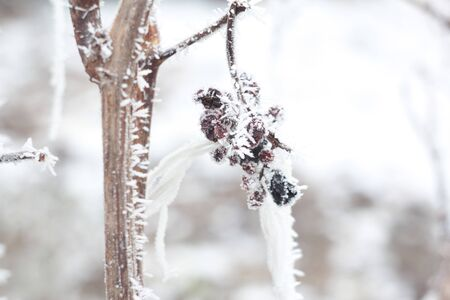air dried: Frozen berries on the branch