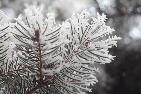 The frozen fir needles Stock Photo