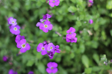 flower bed of little purple flowers,from above
