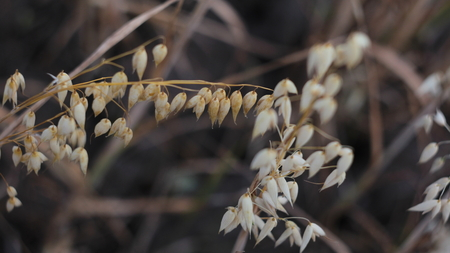 Closeup of mature barley from above Stock Photo
