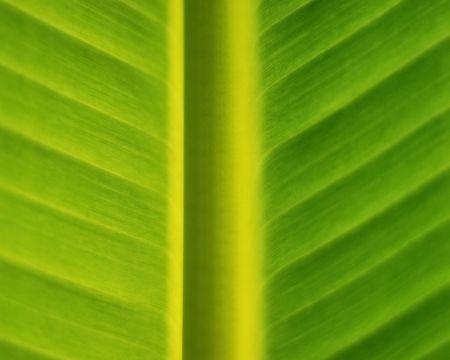 closeup of a banana tree leaf photo