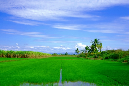 Rice field- Rice paddy in Thailand 스톡 콘텐츠