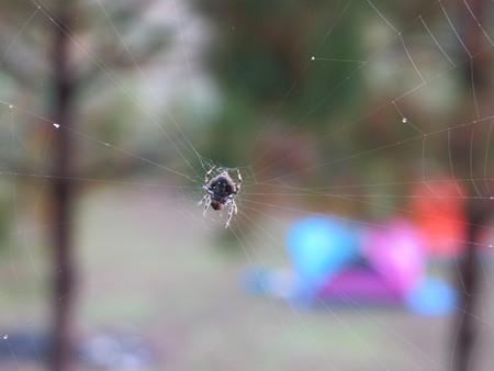 nursery web spider: Spider in the nest Stock Photo