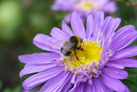 The bee drinks nectar from a flower