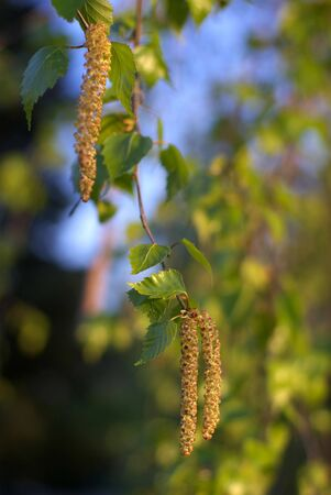 Catkin of birch background in spring photo