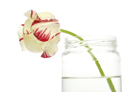 Tulip in the glass jar, isolated on the white background. photo
