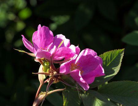 wild  rose: Wild Rose fiori