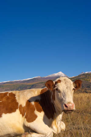 Young alpine cow lieing in the ground with mountain background. Stock Photo - 5683097