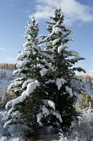 Two fir tree under the snow. photo