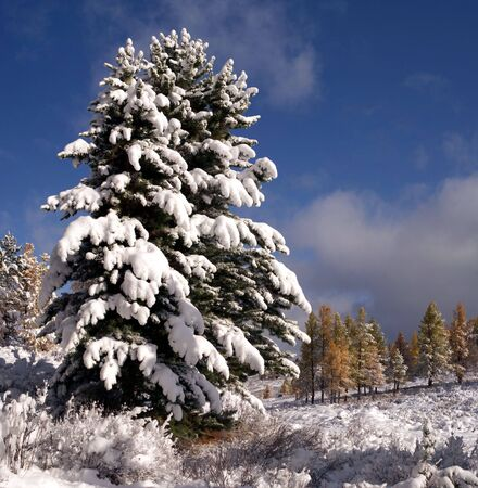 Scenic view of two fir tree under the snow. photo