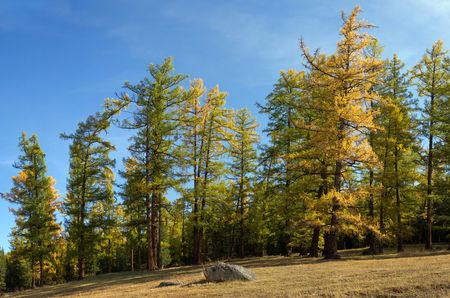 Autumnal larch forest landscape in the nice day