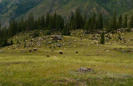Paisaje de monta�a con cabras y ovejas de pasturas  Foto de archivo - 6120609