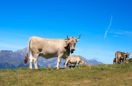 Asturias cows herd in the Cantabrian mountains