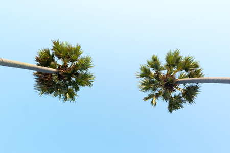 Looking up to the sky and very high tropical palm trees