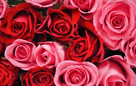 bunch of red roses: Red and pink roses background