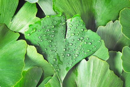 dewy: Dewy Ginkgo Biloba leaf part of other ginkgo leaves as a background