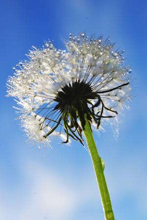 dewy: Dewy dandelion Stock Photo