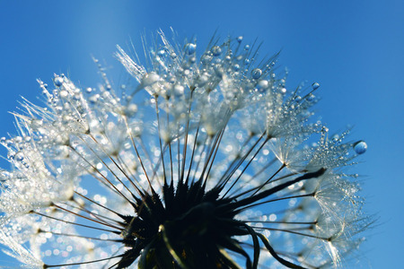 dewdrops: Dandelion with fresh dewdrops Stock Photo