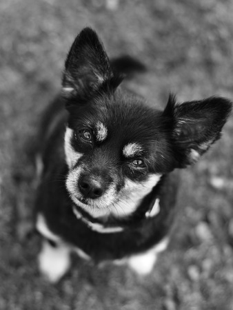 Short-haired Chihuahua outside