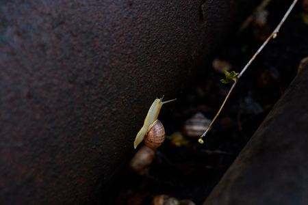 Snails in the yard after the rain on the green grass with large dew drops. Image for design with copyspace. Concept of moving forward to success. Snail on the grass. The snail moves forward. Stock Photo