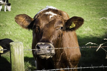 Cow behind wire fence
