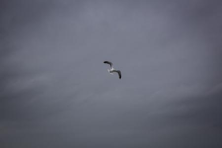 Gull flying in the sky