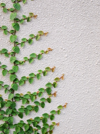 Green leaves on wall  photo