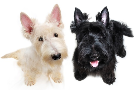 scottish: Sweet little black and white Scottish Terrier puppies