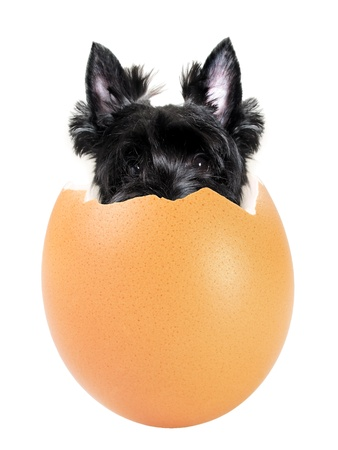 Black scottish terrier dog coming out of a brown egg