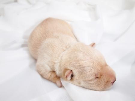 Sweet little wheaten Scottish Terrier puppy  Standard-Bild