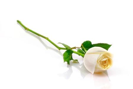 single rose: Beautiful white roses reflection on white background