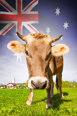 Cow with flag on background series - Australia photo