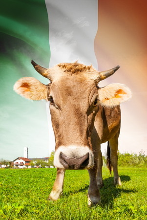 Cow with flag on background series - Ireland photo