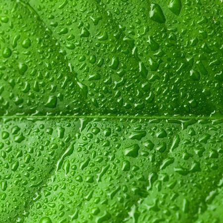 leaf close up: Water drops on green leaf - close up studio shot