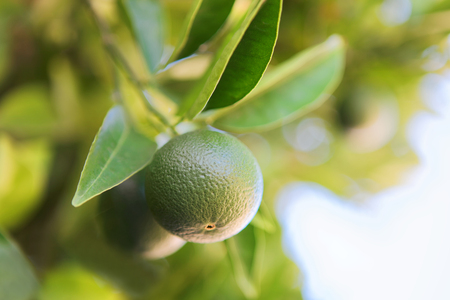 vitamine: Close up shot of a ripening green orange on a branch of orange-tree - Croatia, Brac island Stock Photo