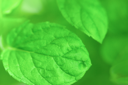 Close up shot of peppermint leaves Stock Photo