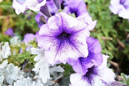 Violet flower in a green garden photo