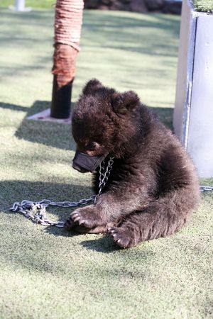 Bear on a chain in a zoo Stock Photo - 4875403