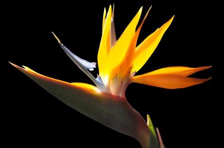 strelezia, Bird of Paradise Blume Standard-Bild