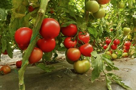 invernadero: tomate Foto de archivo